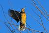 Meadowlark launching into flight.