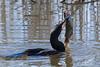 Cormorant catches a catfish.