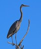 Great Blue Heron in the top of a tree. This was taken along the south road that leads to the Galveston Bay boat ramps.