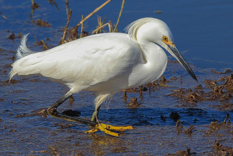 Snowy Egret. It was so close to my car on Shoveler Pond road I had to back off the zoom to get it in the frame.