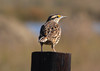 Meadowlark. The 2 species, Eastern and Western, are rivals. They look similar and are best distinguished by their call if they are playing fair. Both have a rich, sweet sound but each species has been known to mock the other, presumably to find an intruding rival and go kick his tail. It's not easy being a bird.