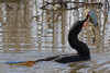 Cormorant with a Catfish. Cormorants are voracious fish eaters.