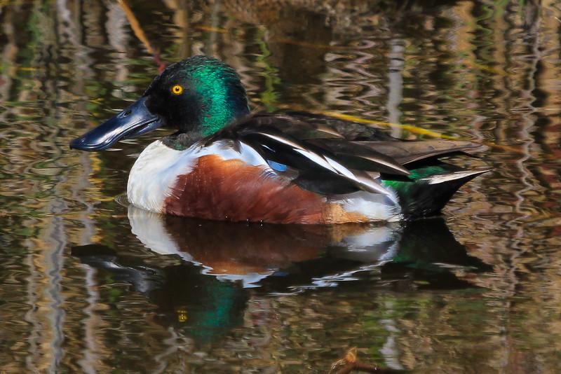 Male Northern Shoveler duck.