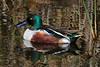 Northern Shoveler duck, male.