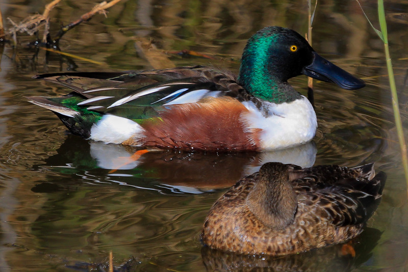 Pair of Shovelers, male and female.