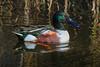 Shoveler adult male duck. All adult male ducks are called drakes. The shoveler female has less colorful plumage.