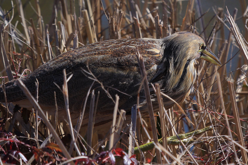 American Bittern. It was slowly moving through the foliage at the waterline.