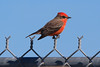 First year Vermillion Flycatcher.