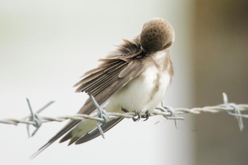 Andorinha-das-chaminés [Hirundo rustica]
