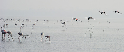 Greater Flamingos - Pulicat Nov 2012
