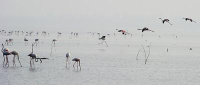 Greater Flamingos - Pulicat Nov 2012