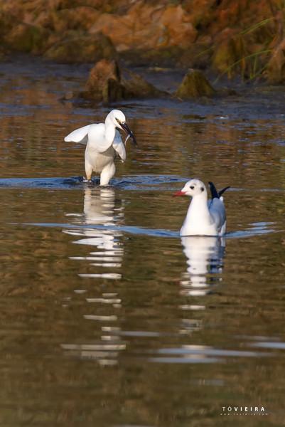 Garça-branca-pequena (<br /> Egretta garzetta) á pesca, com um Guincho-comum<br /> (Larus ridibundus) a observar - Rua da Pega, Aveiro