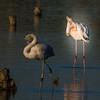 Flamingo<br /> Phoenicopterus roseus