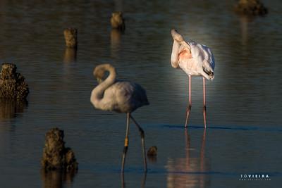 Flamingo Phoenicopterus roseus