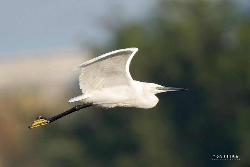 Garça-branca-pequena (Egretta garzetta) - Ria de Aveiro