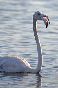 Flamingo ( Phoenicopterus roseus ) - Trocalhada, Aveiro