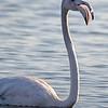 Flamingo<br /> ( Phoenicopterus roseus ) - Trocalhada, Aveiro