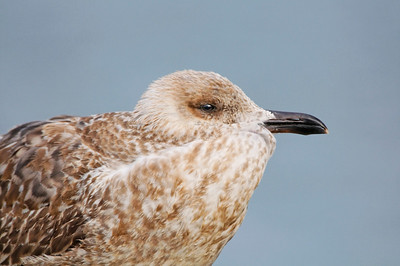 Aves da RIA Gaivota de asa escura (juvenil)