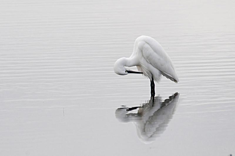 Aves da Ria <br /> Garça Branca (Egretta garzetta)