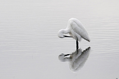 Aves da Ria  Garça Branca (Egretta garzetta)