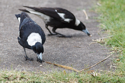 Magpies often rub or grind their food on the ground before eating it. - 1st look at the young baby Magpie with its Parents in our back yard. Thursday 17 November 2016.