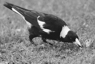 "VSCO Film Preset: ""C - TRI-X⁺¹ +"" - Magpies often rub or grind their food on the ground before eating it. - 1st look at the young baby Magpie with its Parents in our back yard. Thursday 17 November 2016."