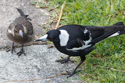 1st look at the young baby Magpie with its Parents in our back yard. Thursday 17 November 2016.
