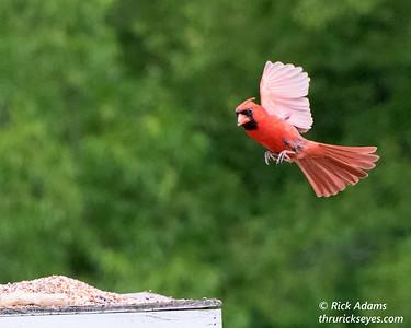 Cardinal Flying