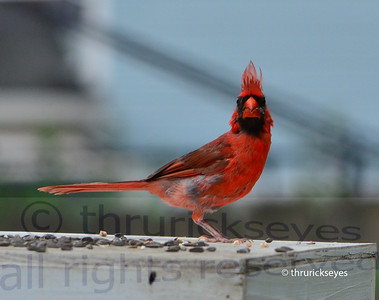 I think this cardinal spied me with my camera.