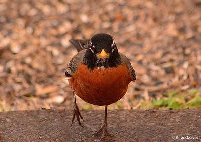 I made this photo of a robin as he was heading intently to the water bowl for a drink.
