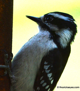 A woodpecker that landed on the post to one of our bird feeders. They usually prefer the hanging feeder.