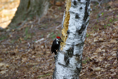 Backyard woodpecker (5 of 7)
