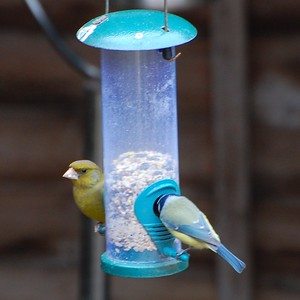 Green Finch and Blue Tit
