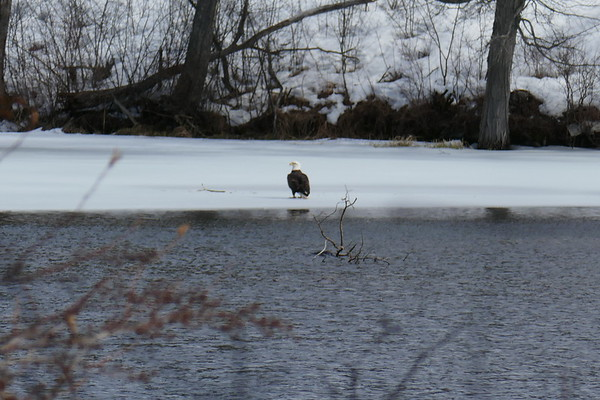 Bald Eagle Ashland River  030318