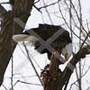 Bald Eagle Eating