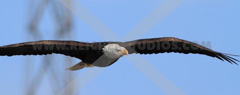 Bald eagle at eye level