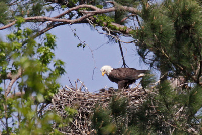 Bald Eagle (F) and Two Chicks - March 28, 2010