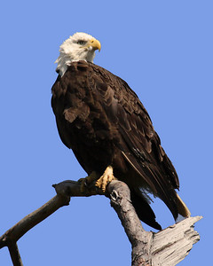Bald Eagle (F) - March 28, 2010