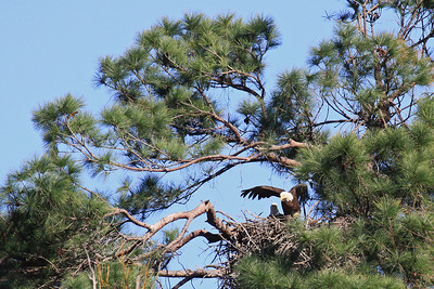 Bald Eagles  (F-left, M-right) - Jan. 21, 2010