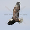 Bald Eagle with fish in talons