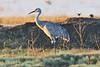 Isenberg Crane Preserve, Woodbridge Road. Lodi California 10/17/2011<br /> Reported Tag at Malhuer NWR Oregon 1996