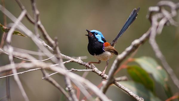 Birds, Trees & Flowers - Banks Street Reserve, Suburban Brisbane, Australia. Photos by Des Thureson.