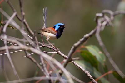 Male Variegated Fairy Wren (Malurus lamberti) - Birds of Banks Street Reserve; Newmarket, Brisbane, Queensland, Australia; 24 September 2012. Photos by Des Thureson.