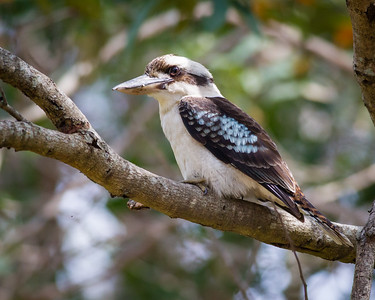 Laughing Kookaburra (Dacelo novaeguineae) - Birds of Banks Street Reserve; Newmarket, Brisbane, Queensland, Australia; 24 September 2012. Photos by Des Thureson.