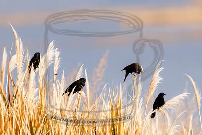 Red Winged blackbirds, enjoying their perches atop some phragmites.