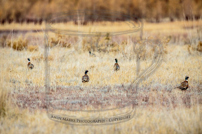 A half dozen ring necked pheasant in a field outside the refuge. They were walking toward the fence but turned around when I stopped my car. Unlike the animals on Antelope Island, the birds here are very much aware of the human threat. The hunters in the refuge (I know, that seems like a violation..) use elaborate camouflage on/in their john boats.