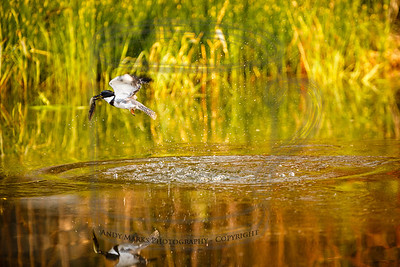 Up and off - Belted Kingfisher with a bullfrog tadpole