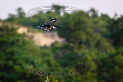 Belted Kingfisher - coming in very fast
