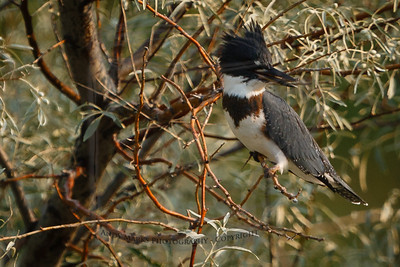 Belted Kingfisher (immature male), scanning the pond from its Russian Olive.