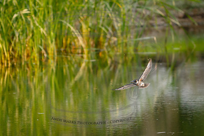 Belted Kingfisher, making one of its final passes over the pond before spotting me.